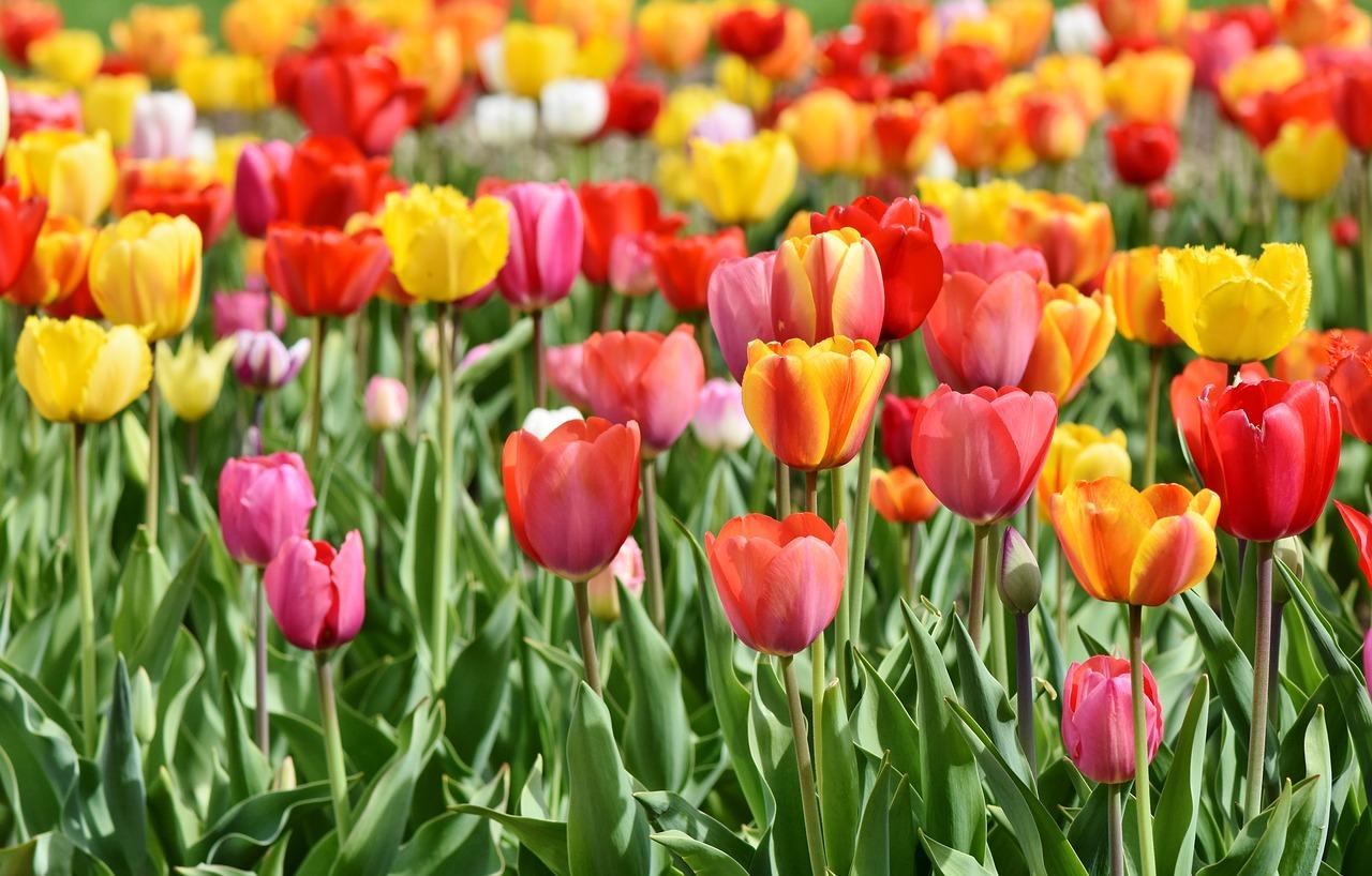 Najpiękniejszy festiwal kwiatów, który powinien zobaczyć każdy turysta. Holandia i morze tulipanów.